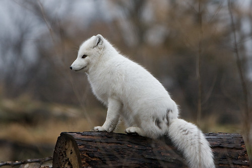 Arctic Fox | by onemikerobi