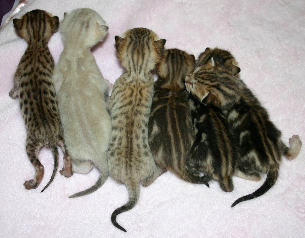 Bengal litter with frosted snow frosted spotted & frosted…
