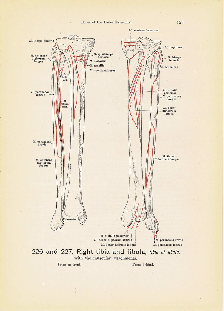 Right TIBIA and Fibula and Right Ankle Bone Anatomy Black … | Flickr
