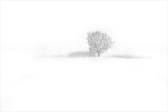 tree on white | by H o g n e