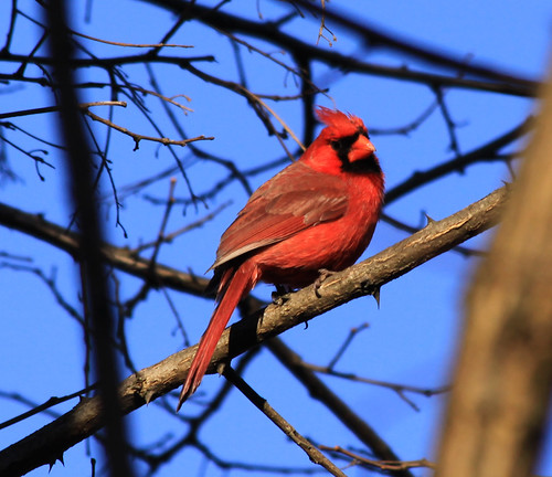 Northern Cardinal | by Laura Erickson
