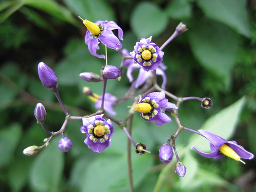 Solanum dulcamara - Bittersweet Nightshade