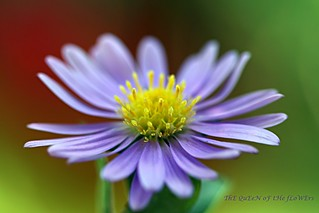 aster in a windy day-FP | by NURAY YUZBASI