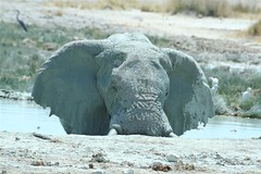 Elephant in the pool | by laufmaschine