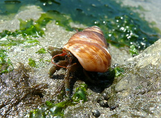 Hermit Crab | by goingslo