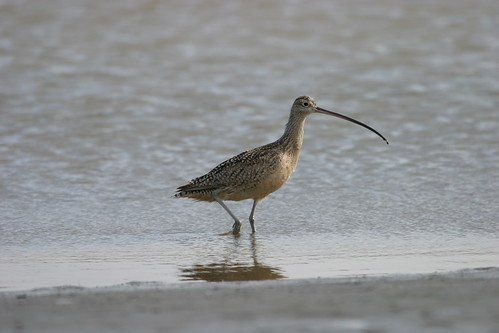 Curlew | by USFWS Pacific