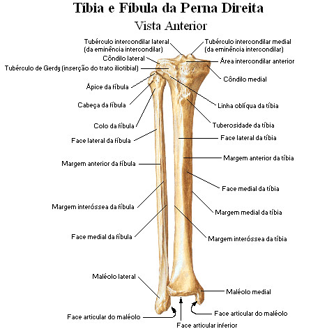 Tibia e fibula | Prof Nelson | Flickr