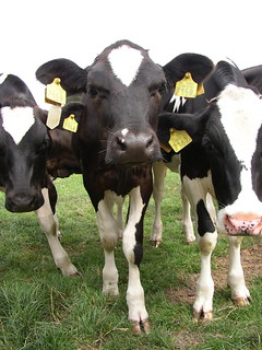 Dairy cows outdoors | by Compassion in World Farming