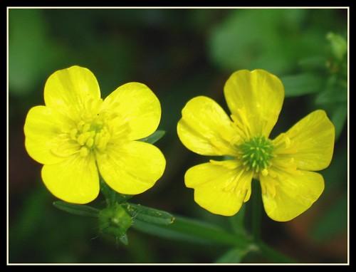 Carolina Buttercup | One of the earliest Texas wildflowers ...