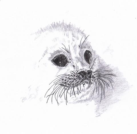 harp seal pup pencil sketch of a harp seal pup drawn 2008 liz
