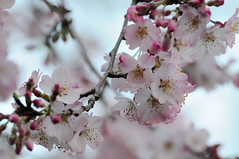 Early 桜 blossoming | by rickirick
