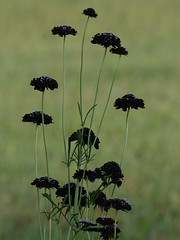 Scabiosa 'Black Knight' | by tangledbranches