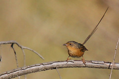 Southern Emuwren - female | by marj k