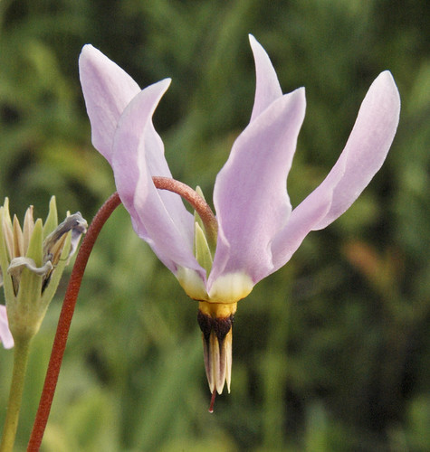 Dodecatheon meadia SHOOTING STAR