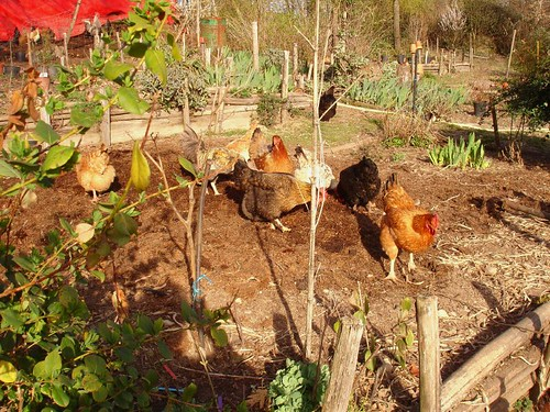 My chicken helpers cleaning up the new beds in Spring | by hardworkinghippy