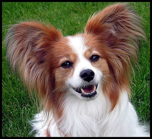 Papillon Ears | by PuppiesAreProzac