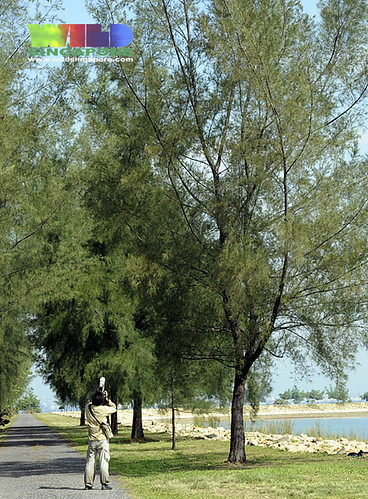 summary of casuarina tree Summary of our casuarina tree by toru dutt our casuarina tree our casuarina tree is a poem by toru dutt, an indian poetthe poem gives an objective description of the tree and the charm associated with poet's childhood.