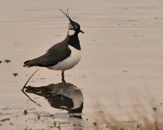 Lapwing in the distance | by Rivertay07 - thanks for over 4 million views