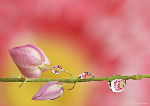 Buds and Drops......... | by aroon_kalandy