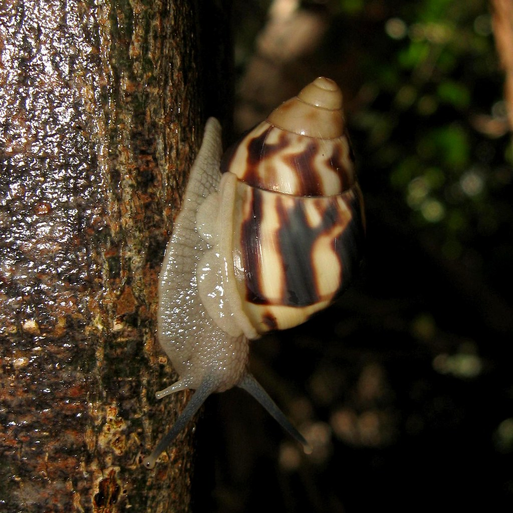 stock island tree snail orthalicus reses reses monkey ju flickr