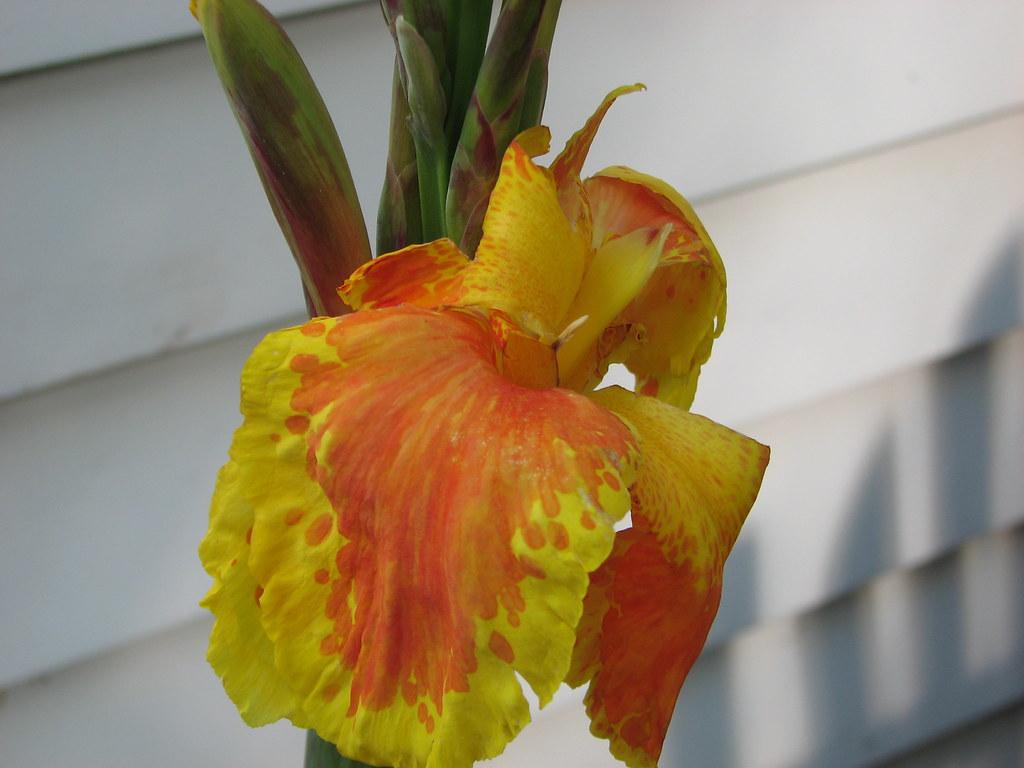 Fleur De Canna Johanne Prescott Flickr