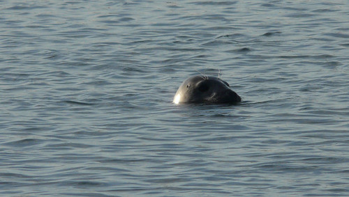 A seal on the Ythan Estuary | by diana red