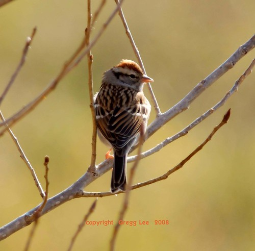 Chipping Sparrow | by Gregg Lee