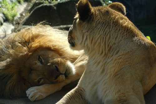 Lion couple | well, &q...