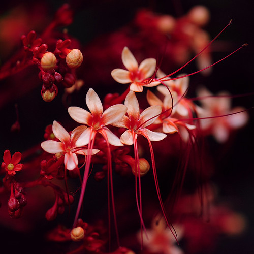 ~ Little Red Flowers ~ | by Peem (pattpoom)