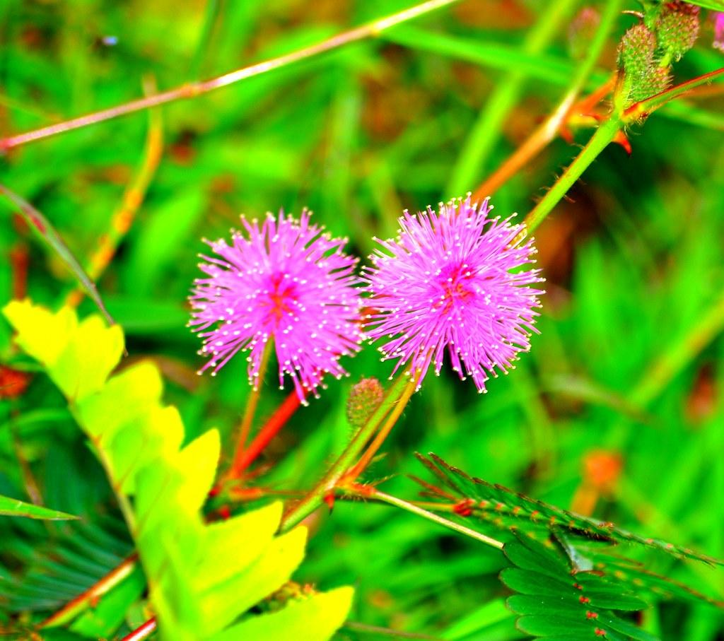 wild flowers of mindanao 1 taken at the eden nature park flickr