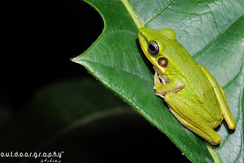 """Jom Macro"" : Green Tree Frog 