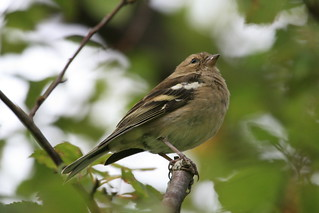 Female Chaffinch | by Chris*Bolton
