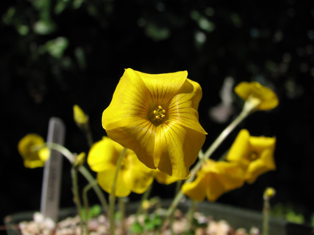 Oxalis Lobata Pretty Yellow Flowers That Have Recurved Pet Flickr
