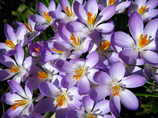 Crocuses Revisited | by Limbo Poet having a break for a while