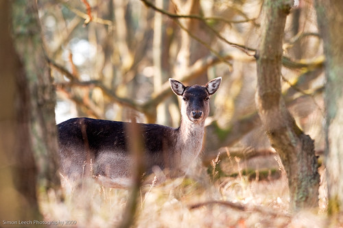 Roe Deer Doe | by DigitalHeMan