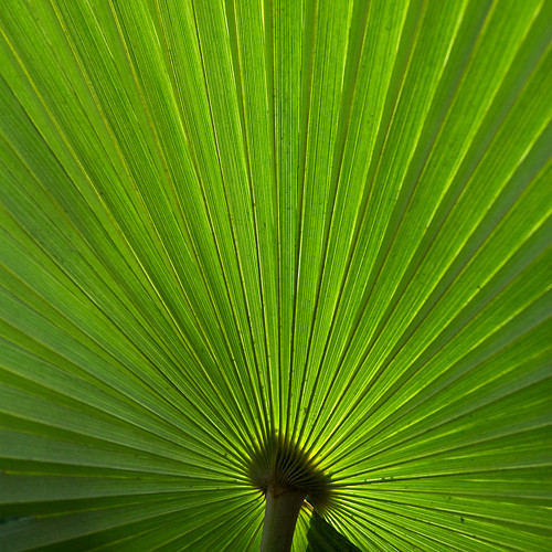 Saw Palmetto leaf | by topendsteve