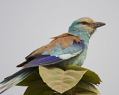 Abyssinian roller | by António Guerra