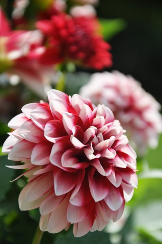 Red Dahlias | by AGreatEuropeTripPlanner!