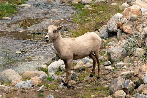 Ovis Canadensis Nelsoni Desert Bighorn Sheep Ewe Flickr