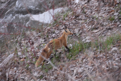 Fox_Fun_16 | by Carthage College