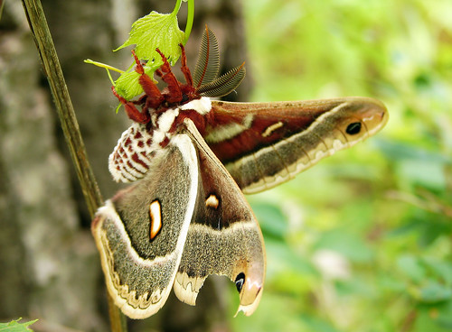 Columbia Silk Moth with Damaged Wing | by Furryscaly