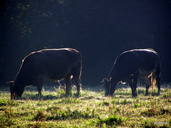 cattle | by Jeanne Kliemesch