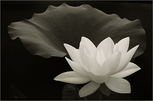 White lotus flower in black white img 5241 1 500 by bahman