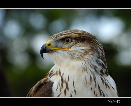 The Hawk!!! | by sirVictor59