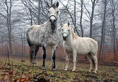 Horses in the misty forest - IMG_2403a | by Alfs photodiary