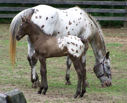 Grulla Appaloosa Colt With Blanket And Spots For Sa