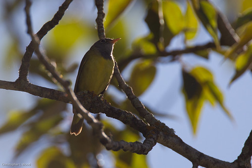 Connecticut Warbler | by Christopher L Wood
