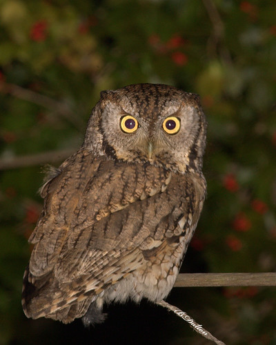 how to get rid of screech owls