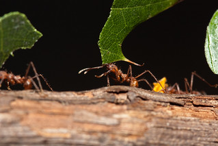 Leafcutter Ants | by Stephen Begin