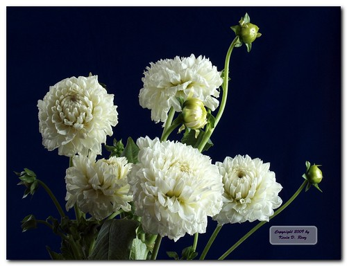 White Dahlias 1 | by GlixPix